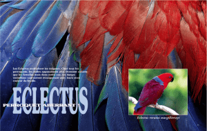 pascal-boyer-Eclectus-1