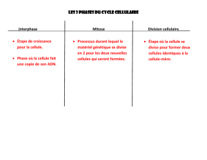 Les 3 phases du cycle cellulaire Interphase Mitose Division
