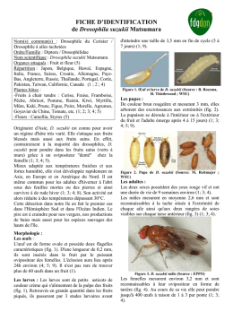 FICHE D`IDENTIFICATION de Drosophila