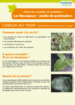 L`oïdium sur rosier