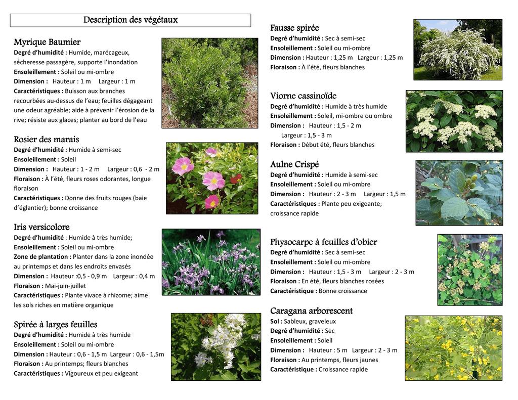 Arbuste Terrain Sec Ombre description des végétaux des végétaux des végétaux myrique