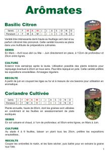 véritable Coriandre 20.000 graines Coriandrum sativum