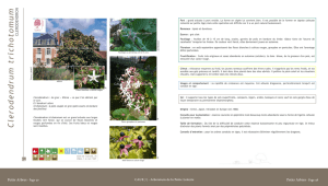Clerodendrum trichotomum - Clerodendron - Arbres