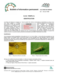 Le thrips - Arbofruits