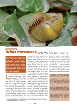 Drilus flavescens