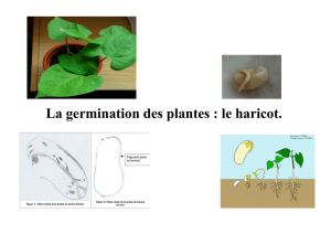 La germination des plantes : le haricot. Écrits Illustrations : photos