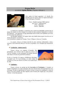 Dragon Barbu ou encore Agame Barbu ( Pogona vitticeps )