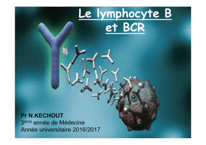 Le lymphocyte B et BCR