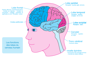 Lobe frontal Lobe pariétal Lobe temporal Lobe occipital Cervelet