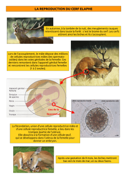 la reproduction du cerf elaphe - Pavot