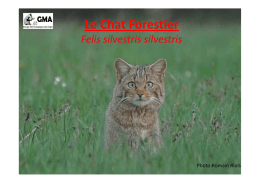 Chat forestier en Auvergne