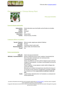 Plante missionnaire / Chinese Money Plant