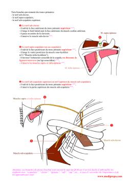 ventre postérieur du muscle digastrique