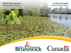Yellow Floating Heart (Nymphoides peltata) Le faux