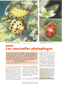 Les coccinelles phytophages