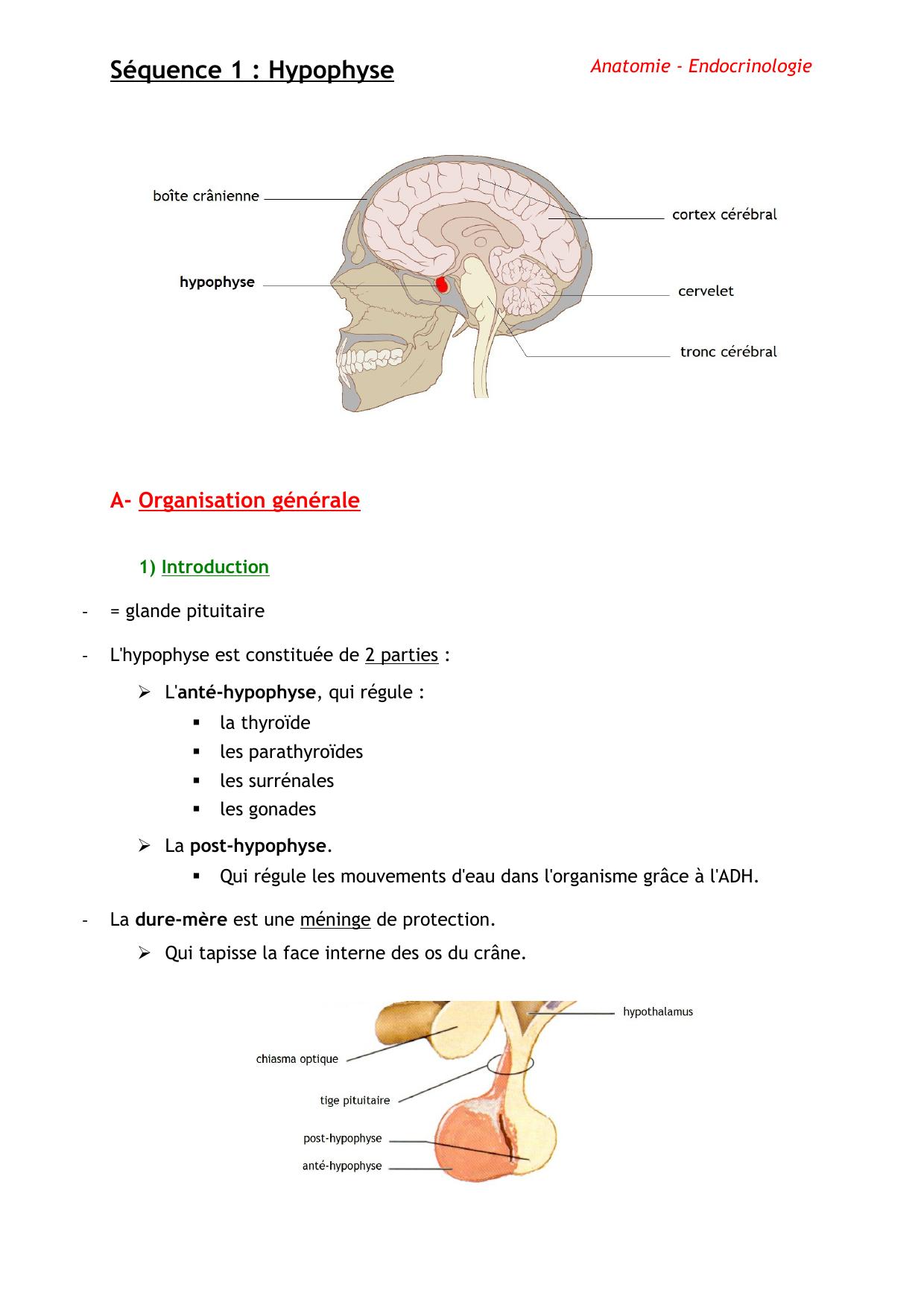 Ungewöhnlich Funktion Der Hypophyse Fotos - Menschliche Anatomie ...